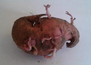 Spirende sød kartoffel