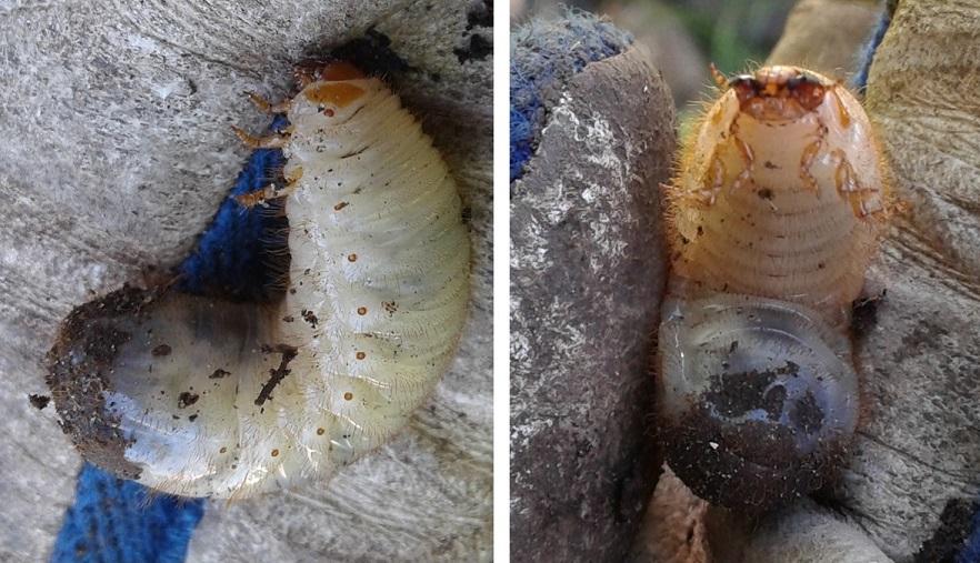 Guldbasse larve