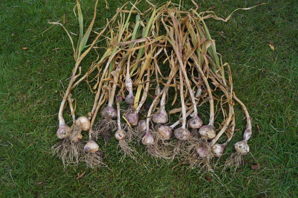 Alle de høstede hvidløg